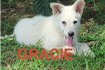Gracie AKC | Puppy at 8 weeks of age for sale