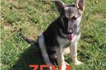 Zena AKC | Puppy at 12 weeks of age for sale