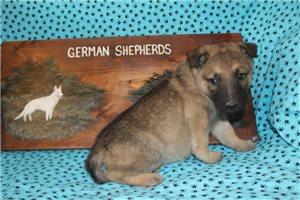 German Shepherds for sale