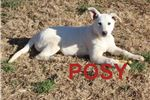 White Shepherd for sale