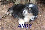 Andy | Puppy at 9 weeks of age for sale