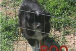 Picture of Boo