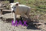 Picture of Max AKC