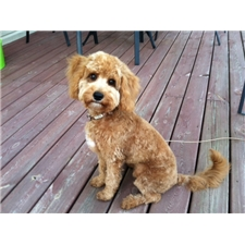 View full profile for Jewell's Goldendoodles