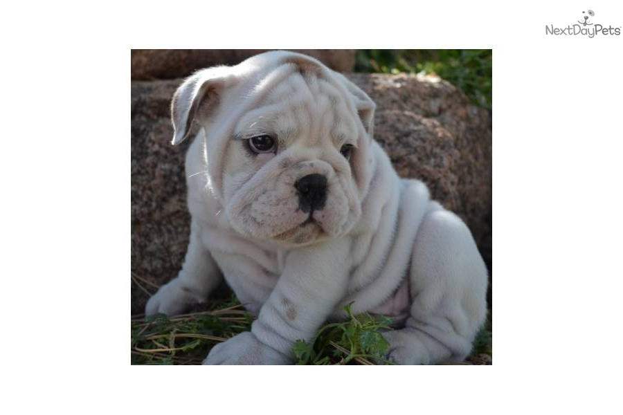 White english bulldog puppy names