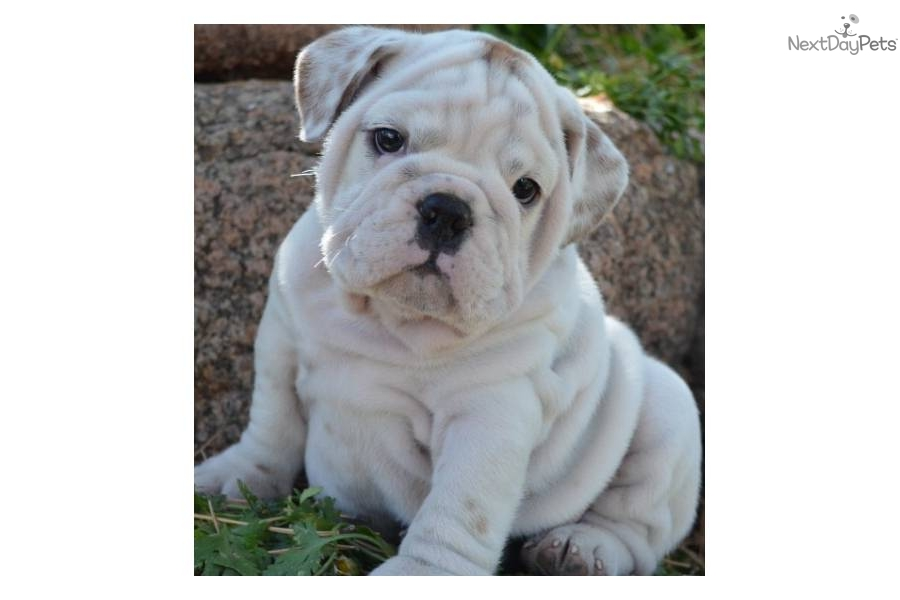 All White Bulldog