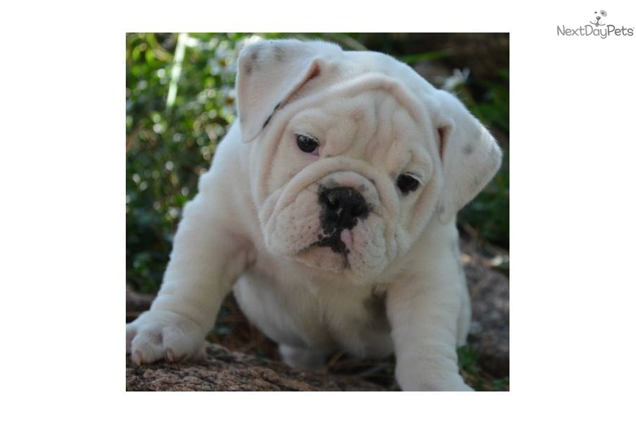 VIDEO: Meet Winston a Cute English Bulldog Puppy for Sale ...