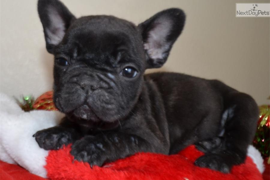 black bulldog puppy french bulldog puppy black 6599