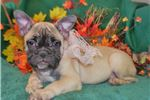 Picture of 'Millie' AKC FawnSable French Bulldog Puppy