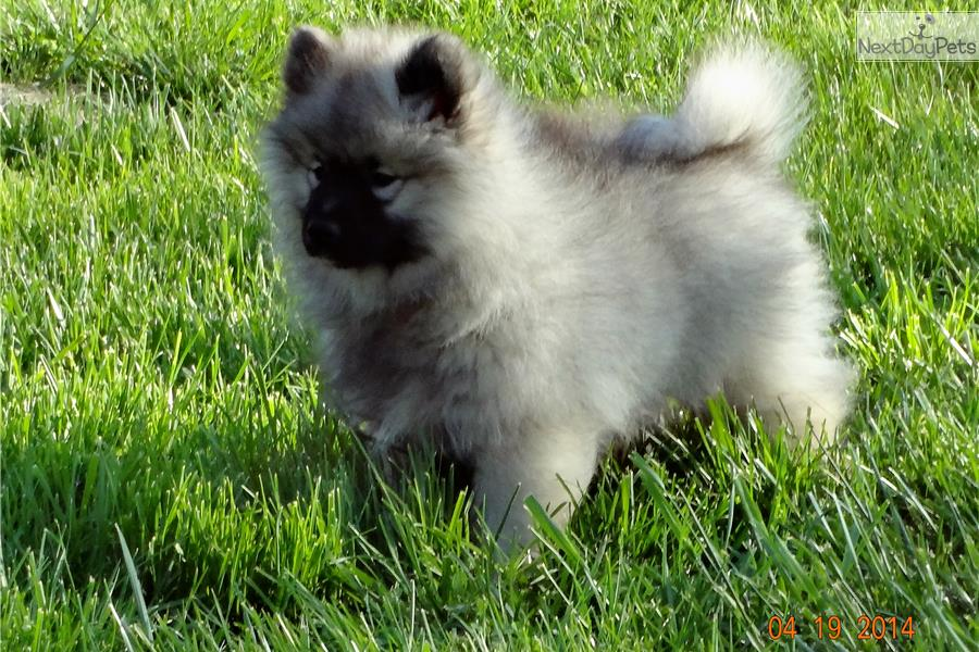 Keeshond Puppy For Sale Near Nashville Tennessee 0950250a 1401