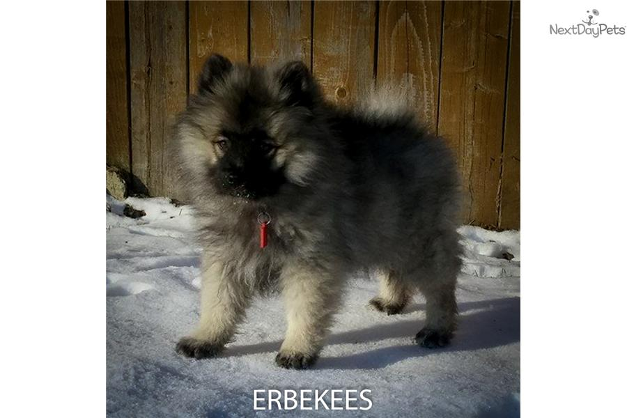 Keeshond Puppy For Sale Near Nashville Tennessee 3943dacc E661