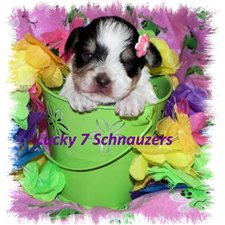 View full profile for Lucky 7 Schnauzers