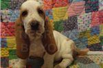 Basset Hound for sale