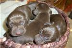 Picture of AKC  Blue Weimaraner Male
