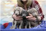 Picture of White River Weims