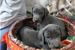 Picture of AKC Blue Weimaraner Female