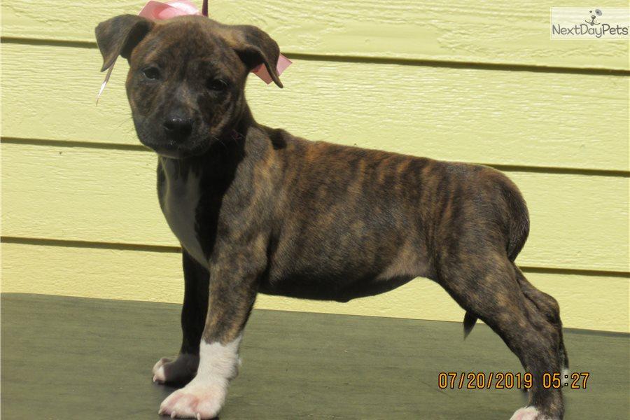 Tyson: American Pit Bull Terrier puppy for sale near ...