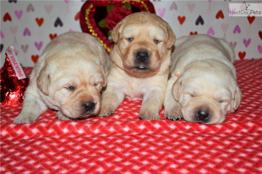 English Beauty : Labrador Retriever puppy for sale near