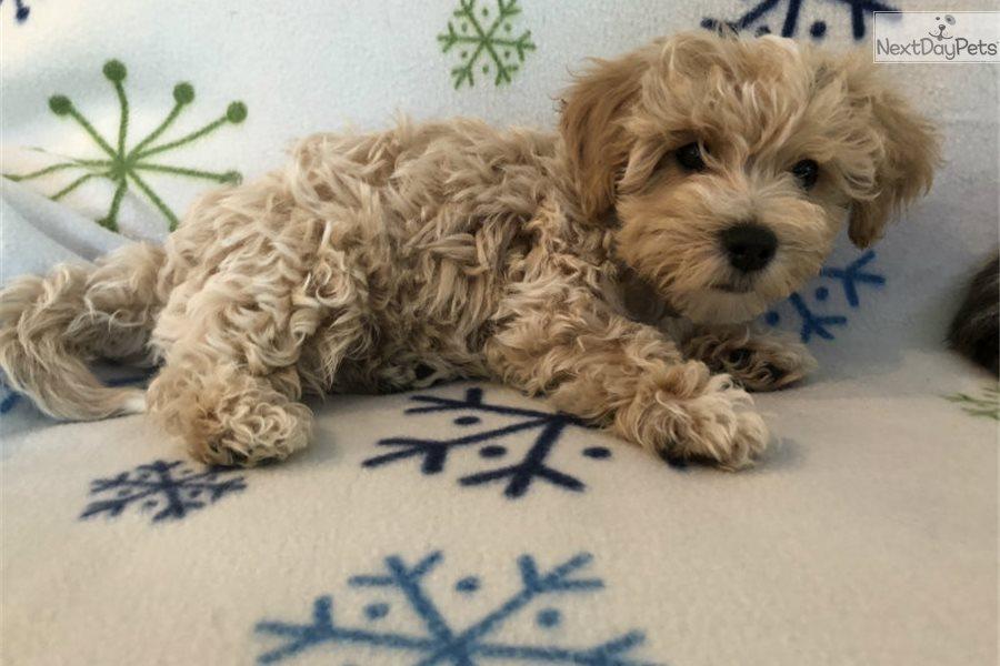 Bich Poo Bichpoo Puppy For Sale Near South Bend Michiana