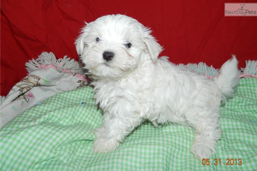 maltese breeders indiana maltese puppy for sale near south bend michiana indiana 7661