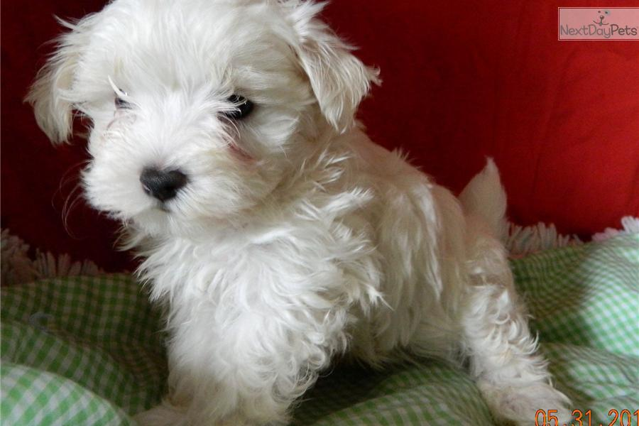 maltese breeders indiana maltese puppy for sale near south bend michiana indiana 9203
