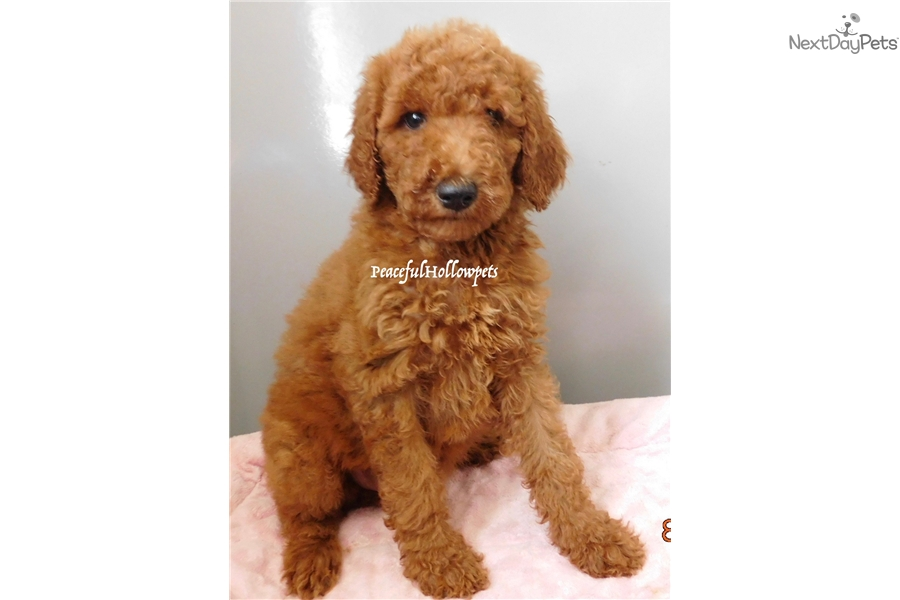 Poodle, Standard puppy for sale near South Bend / Michiana, Indiana