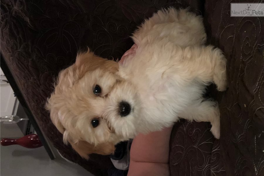 Shih Poo Shihpoo Puppy For Sale Near South Bend