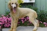 Picture of D&D St. poodle Male in NE Indiana