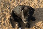 Black Beauty Lettie | Puppy at 12 weeks of age for sale