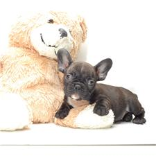 View full profile for House Of Coco French Bulldogs