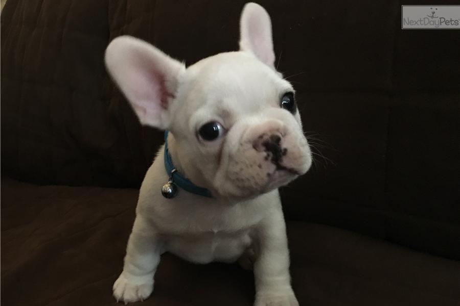 Tod French Bulldog Puppy For Sale Near Columbus Ohio D81a30cc 0231