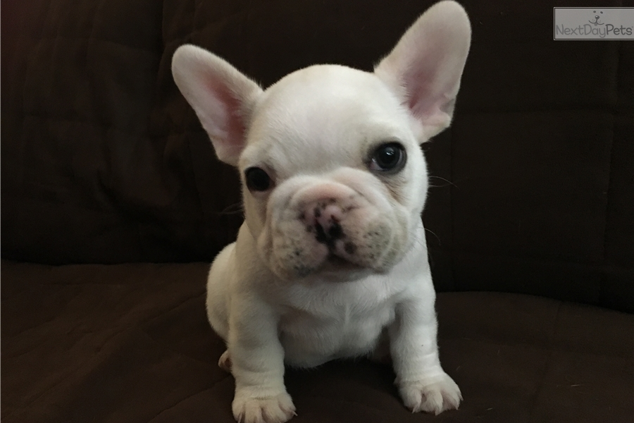french bulldog for sale in ohio