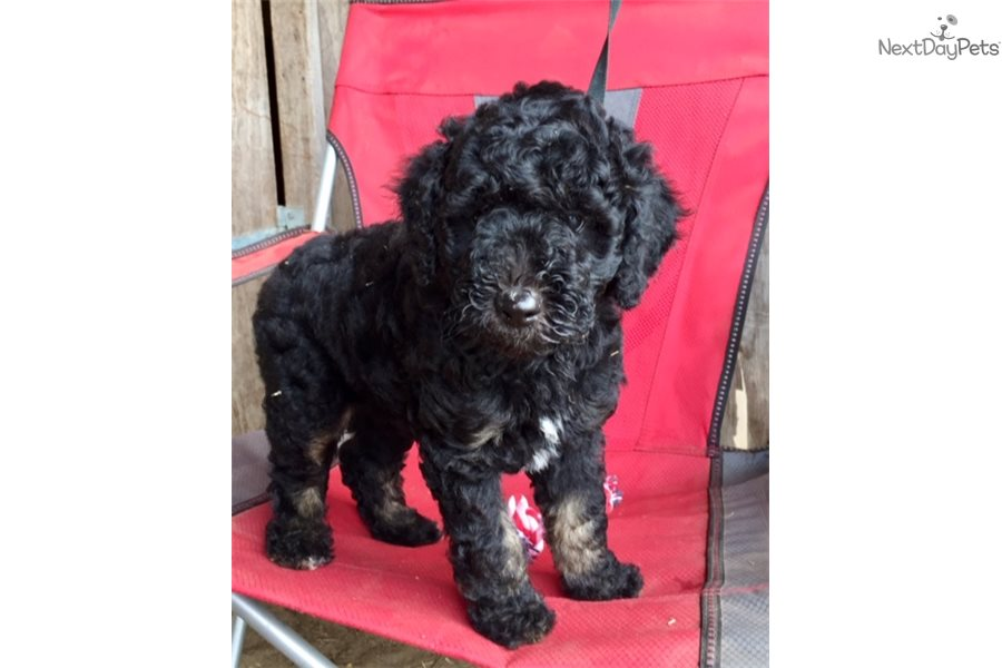 Doodle Aussiedoodle Puppy For Sale Near Eastern Nc North