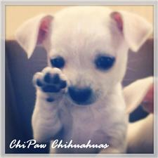 View full profile for Chipaw Chihuahuas