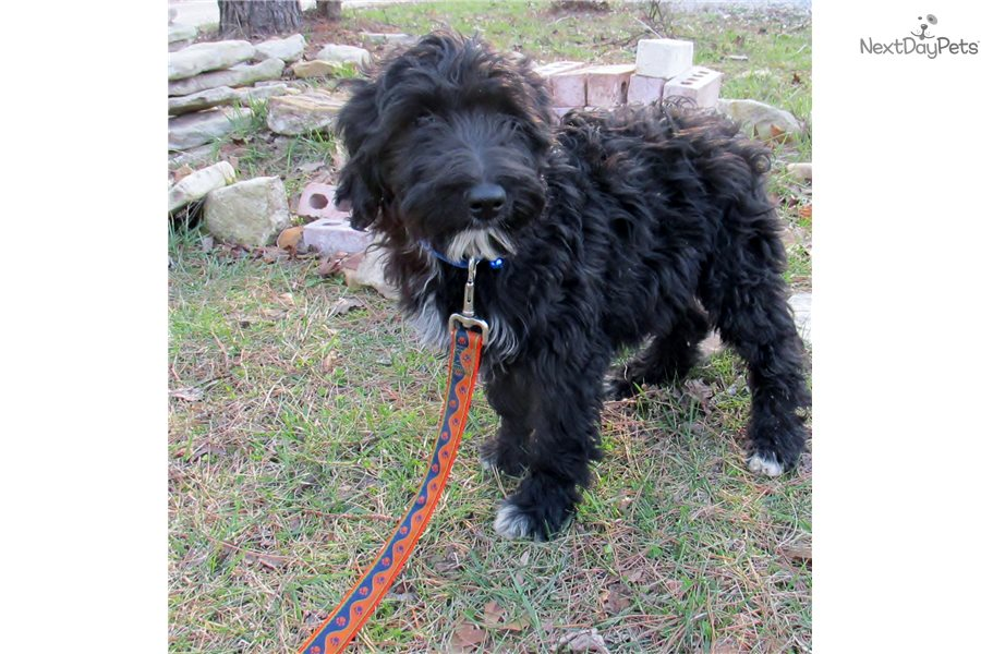 Portuguese Water Dog Sale California