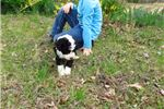 Picture of Ralo (Pwd/S. Poodle)