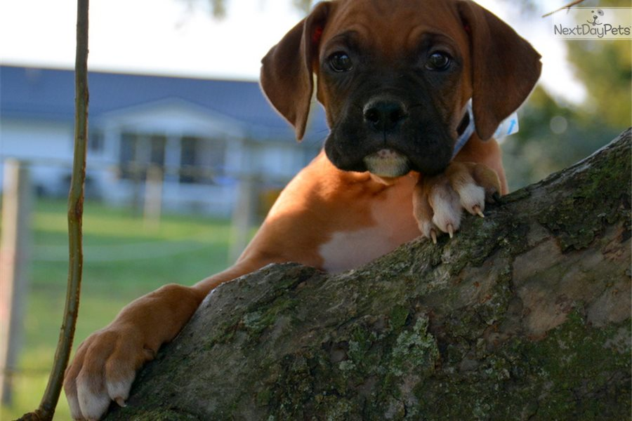 Boxer Puppy For Sale Near Fort Wayne Indiana 323fad9e C9c1