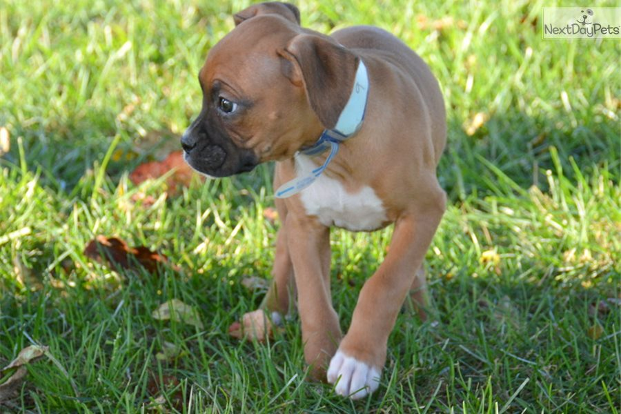 Boxer Dog For Sale Indiana