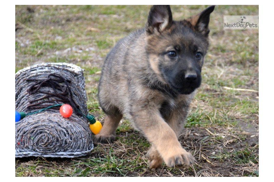 $200 German Shepherd Puppies Dogs For Sale Near Me In Tasmania Australia