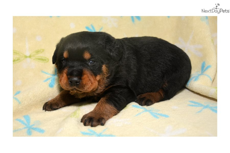 Rottweiler Puppies Fit Sale In Fort Wayne Indiana