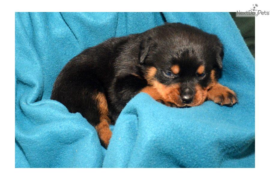 Rottweiler Puppy For Sale Near Fort Wayne Indiana Bfebb891 E5b1