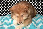 Picture of Malamute Female 2-4 Born 8/25/19