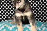 Picture of Malamute Female 2-3 Born 8/25/19