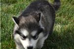 Picture of Dark Sable Female 1- 6 Born 6/16/19
