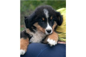Picture of Bernese Male