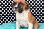 Picture of Boxer Female 4-3
