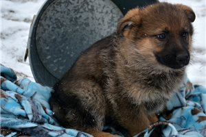 Picture of Female Four GSD