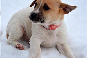 Picture of Jack Russell M