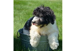 Picture of a Newfypoo Puppy