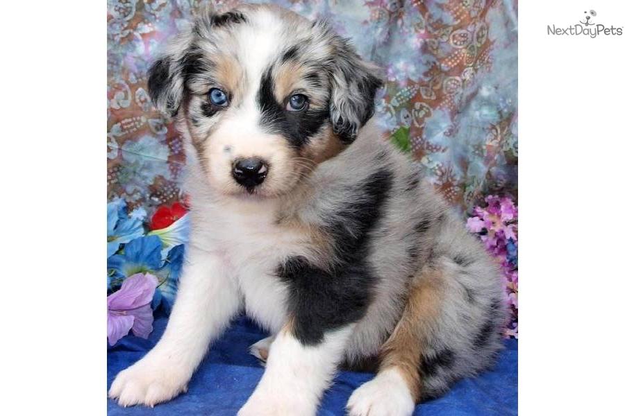 Meet Ellie May a cute Australian Shepherd puppy for sale ...